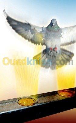 anti pigeon algerie