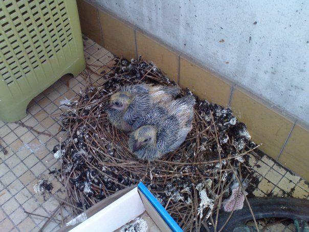 anti pigeon balcon