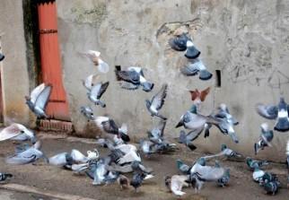 anti pigeon dz