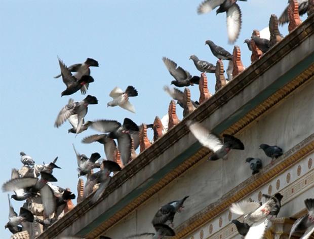 anti pigeon en algerie