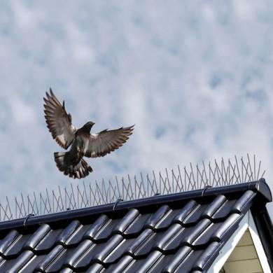 anti pigeon hawk