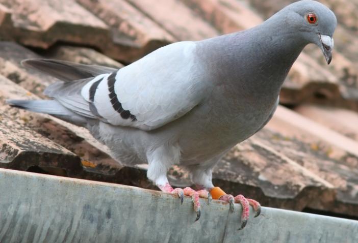 anti pigeon javel