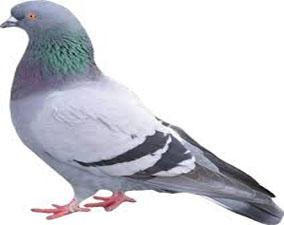 anti pigeon maroc