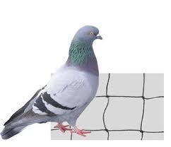 filet anti pigeon belgique