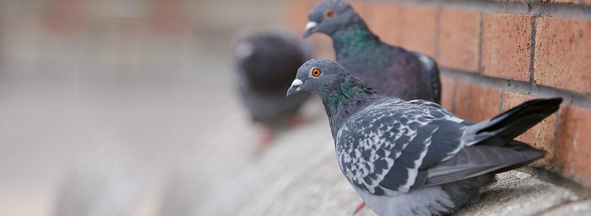 pic anti pigeon belgique