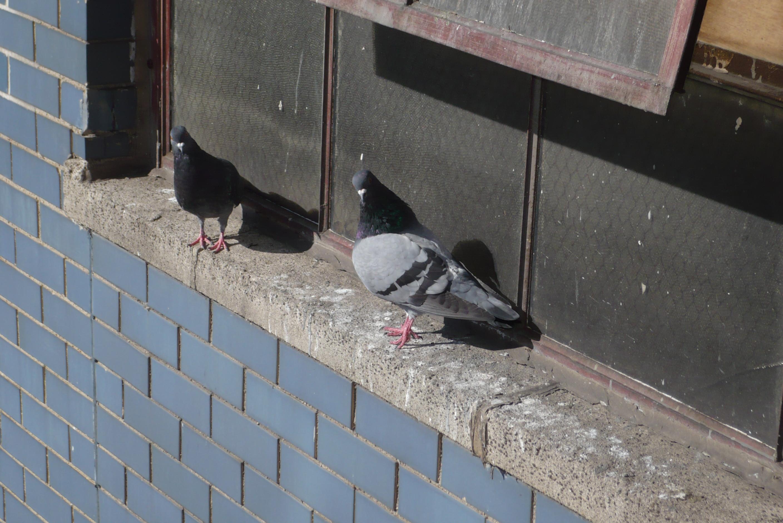 Pic Anti Pigeon Bricomarché