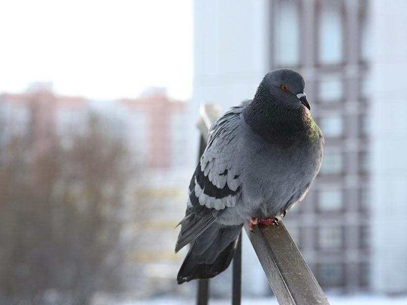 pic anti pigeon bruxelles