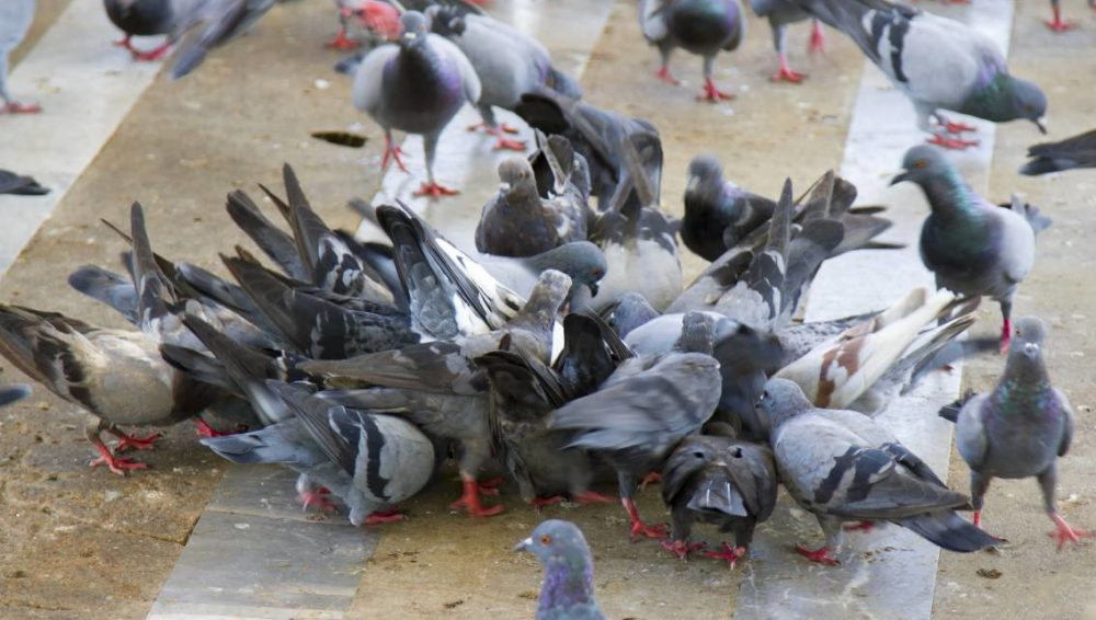 pic anti pigeon carrefour