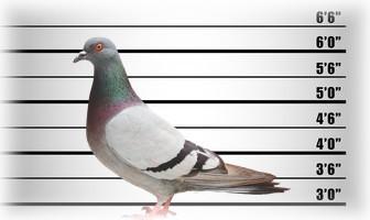 pic anti pigeon fiche technique