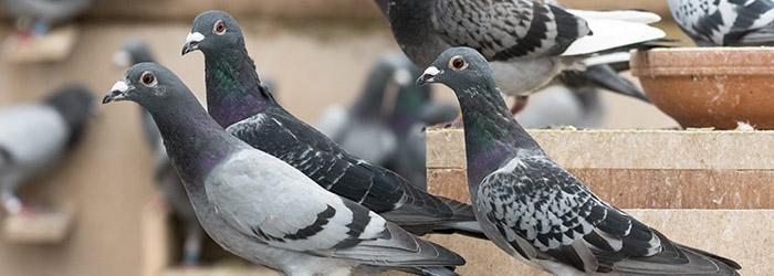 pic anti pigeon lyon