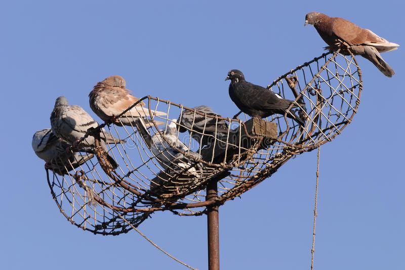 piege a pigeon a vendre