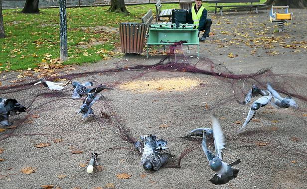 piege a pigeon artisanal