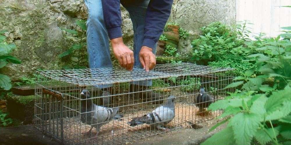 piege a pigeon de ville