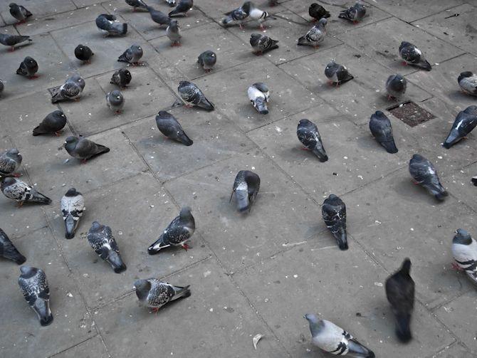 piege a pigeon en 11 lettres