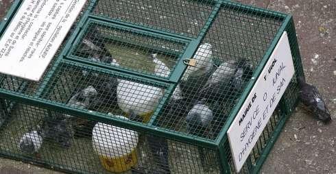 piege a pigeon ramier