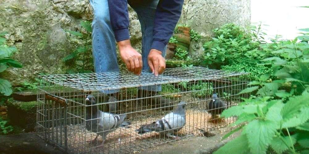 piege pigeon fait maison