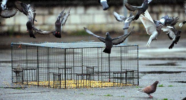 piege pour pigeon sauvage