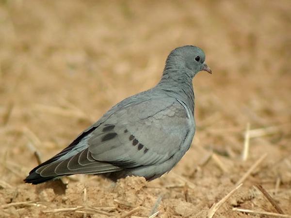 repulsif pigeon bruxelles