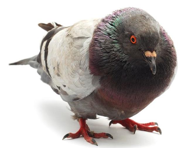 repulsif pigeon eau de javel
