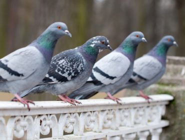 repulsif pigeon pour tournesol
