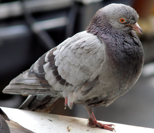 repulsif pigeon tourterelle