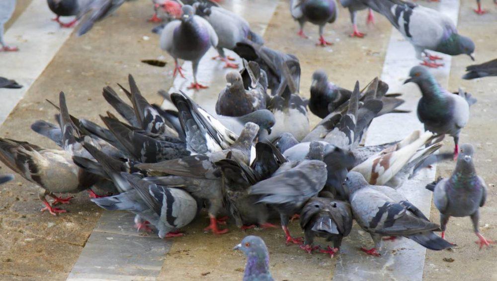 anti pigeon carrefour