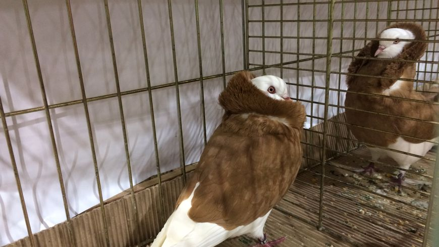 anti pigeon nice