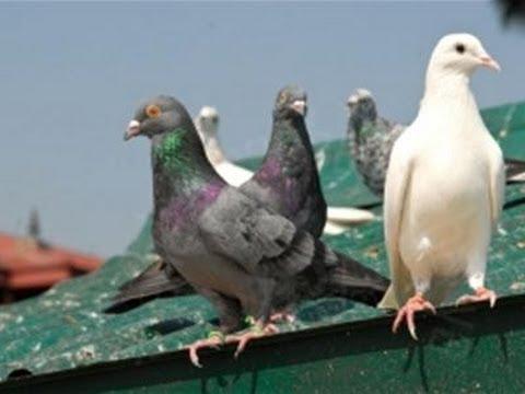 anti pigeon poison