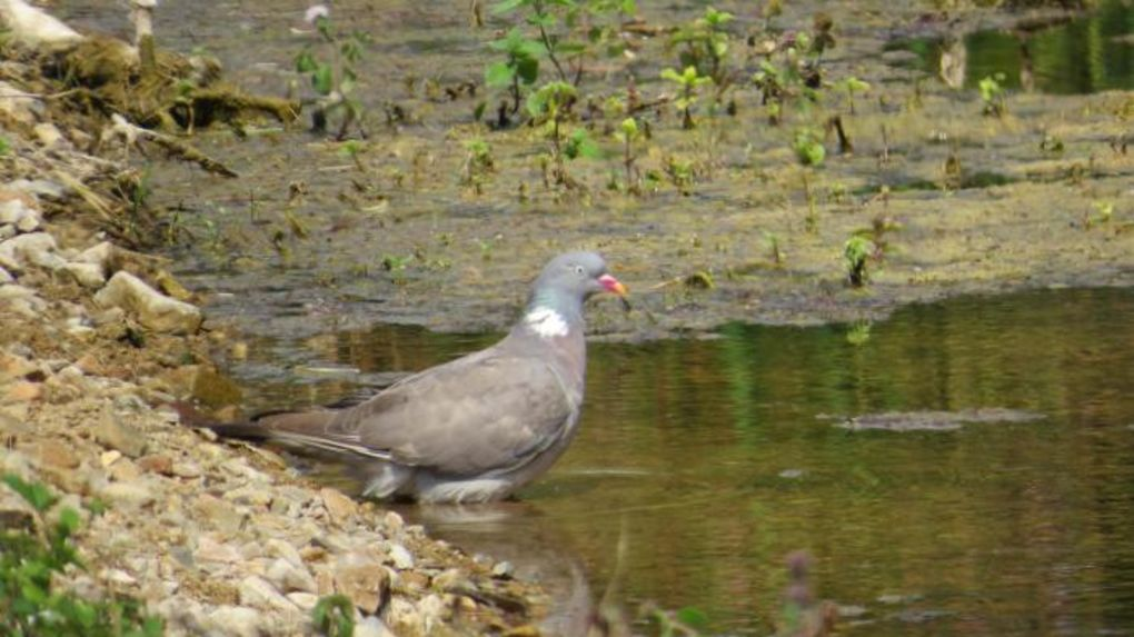 effaroucheur pigeon agriculture