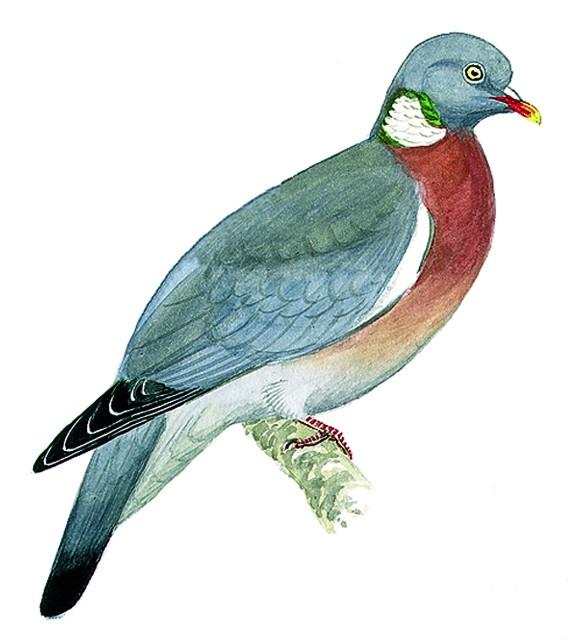 effaroucheur pigeon ramier