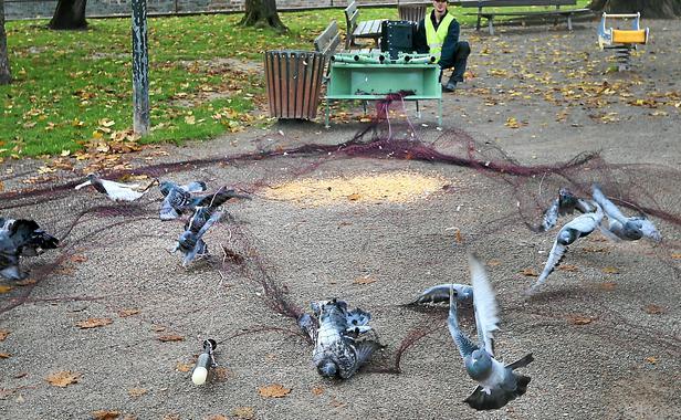 Piege A Pigeon Fait Maison   Ventana Blog