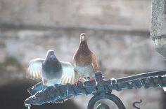 repulsif pigeon sur tournesol