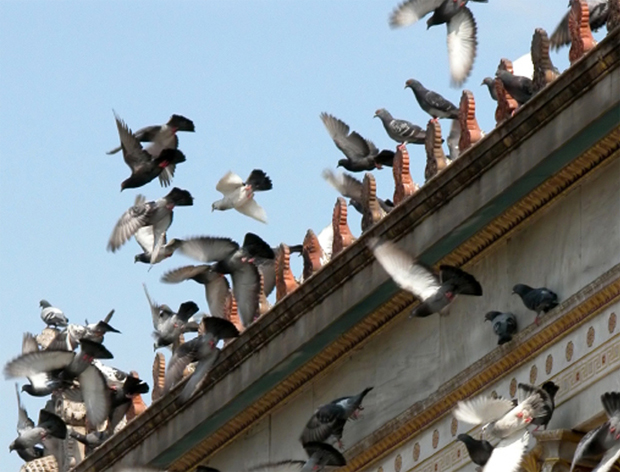 ultrason pigeon algerie